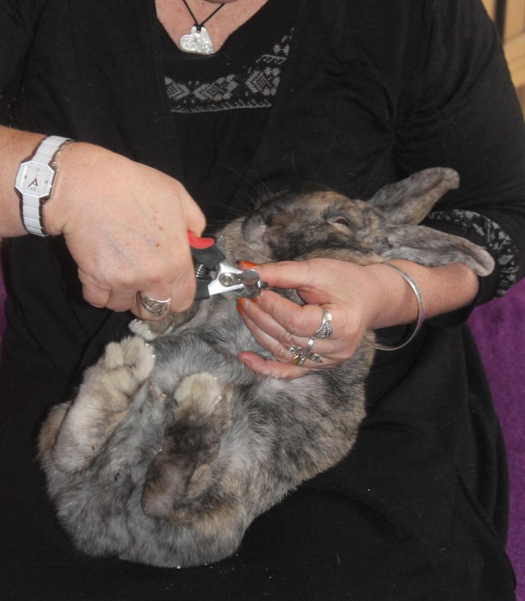Le lapin quels soins les lapins libres - Comment couper les ongles d un lapin ...
