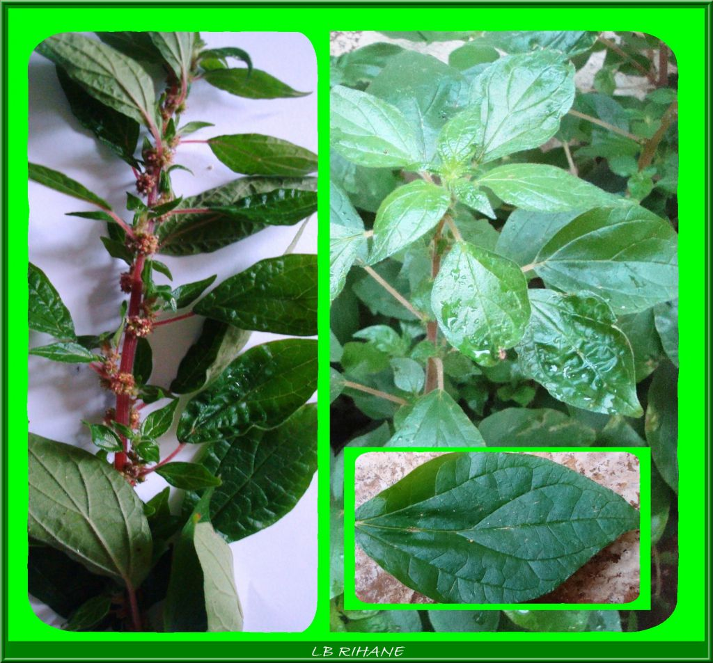 Plantas Medicinales Locales