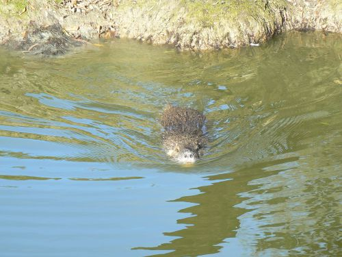 Bien que ne faisant pas parti de la famille Manaudou, il sait très bien nager
