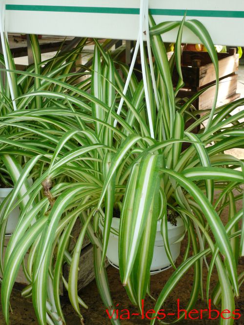 Chlorophytum via-les-herbes