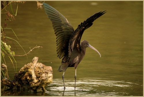 Ibis Marquenterre.jpg