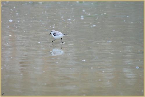 272Q7419 sanderling.jpg