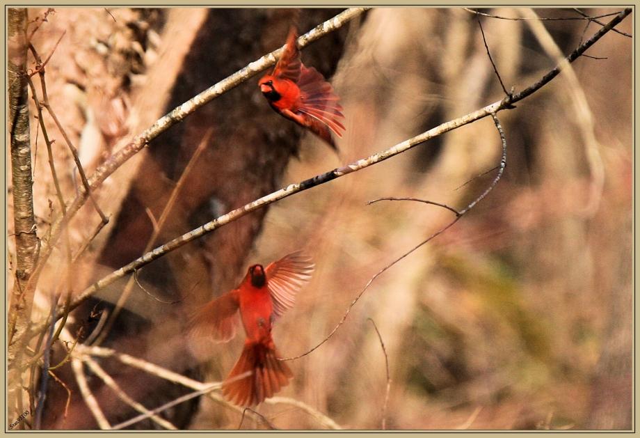 272Q0948 Cardinal rouge.jpg