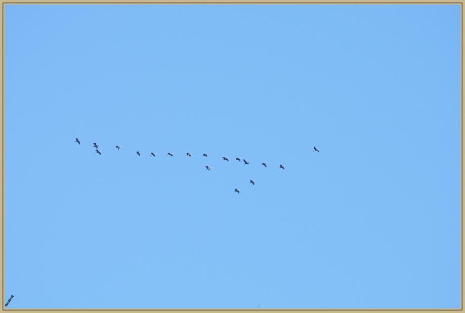 272Q6202 cormoran.jpg