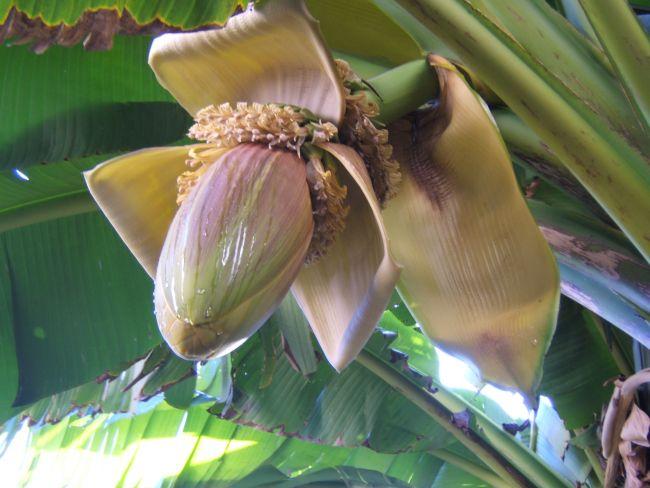 bananier en fleur au jardin