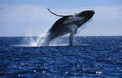 Une baleine à bosse aperçue dans les eaux belges de la mer du Nord