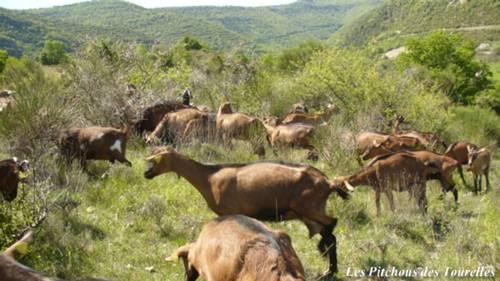 Chèvres Alpines des Tourelles en garrigue