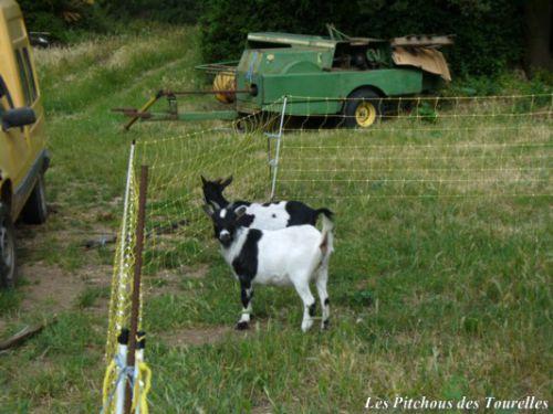 Chèvres naines dans grillage électrifié