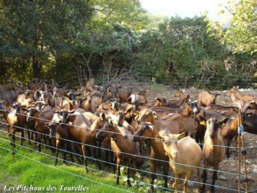 Enclos chèvres