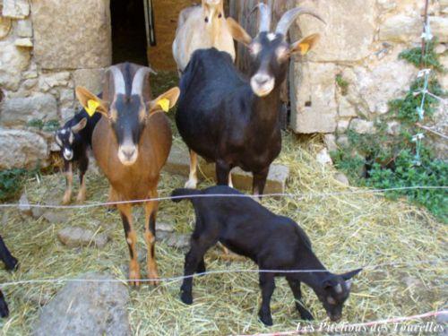 Famille chèvres