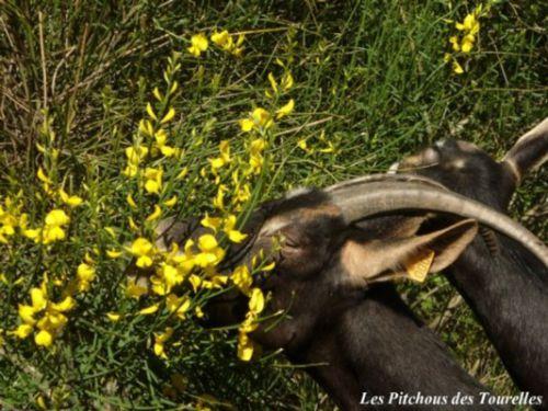 Marguerite en flagrant déli d'abus de fleurs de genêts !