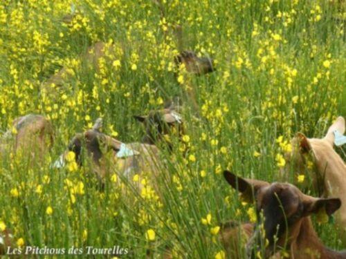 Toutes mes chèvres noyées dans les genêts... magnifique !