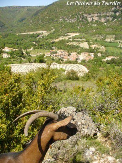 ZOE, chèvre Alpine, devant un panorama de garrigue