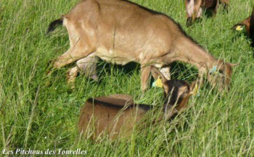 Les chèvres noyées dans l'herbe de printemps