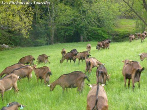 Les chèvres réparties dans l'herbe... toujours en bordure de rivière