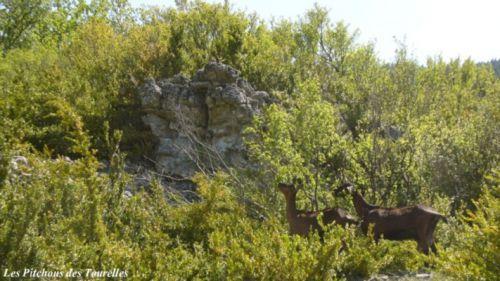 2 chèvres perdues dans la nature brute