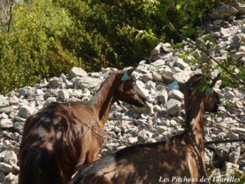 Les chèvres devant un clapas