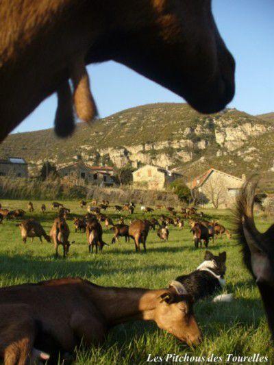 Les chèvres à côté de moi dès qu'elles se couchent ou ruminent