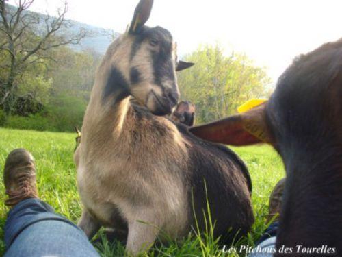 Bébé couchée entre mes jambes est agacée par les autres chèvres qui viennent elles aussi demander des câlins !