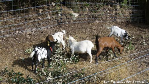 Chèvres miniatures dans une grillage doublé électrique