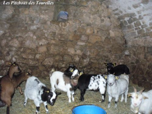 Abri mini-chèvres