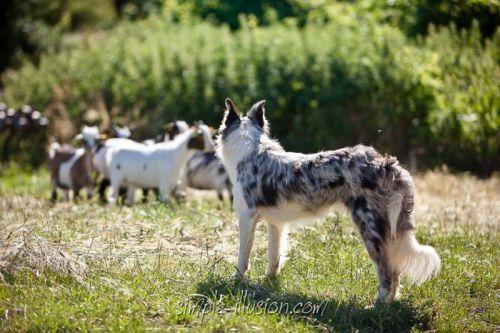 Glycine, notre jeune chienne Border Collie surveille avec grande attention nos petites Alsaciennes dernièrement arrivées