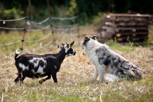Glycine, notre jeune chienne Border Collie, détourne le regard, quelque peu génée par cette proximité inhabituelle !
