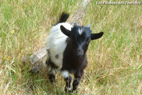 ICEO - 32 cm à 4 mois - chevreau toy ou mini-nain noir & blanc à poils longs