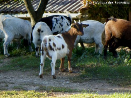 Cigaline (38 cm) ...serait-elle une chèvre de concours de show ?!