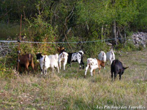 Pratique les chèvres miniatures pour débroussailler sous la clôture !