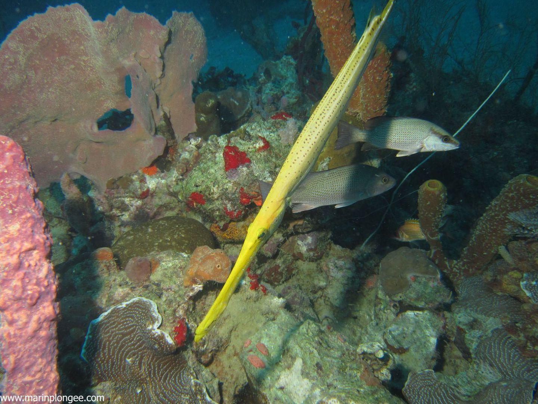 2015 10 18 plongee au sec des boucaniers plong e - Poisson pinocchio ...