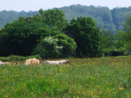 Vaches dans le pré