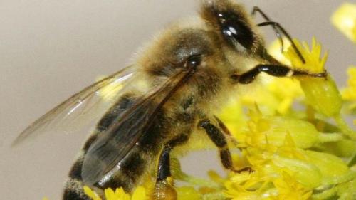abeille_libre_de_droit.jpg