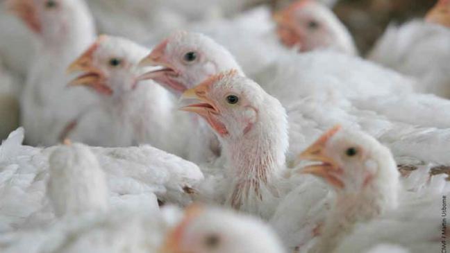 poulets-industriels.jpg