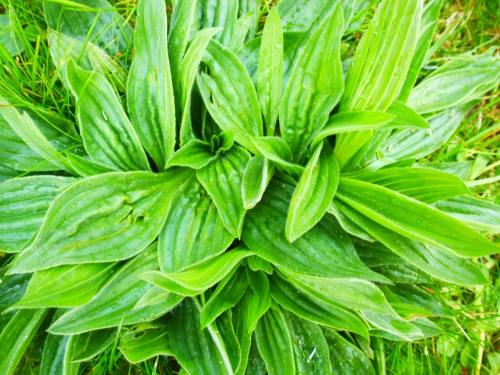 plantes sauvages mars 2014 023pm.jpg