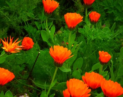 plantes sauvages mars 2014 025pm.jpg