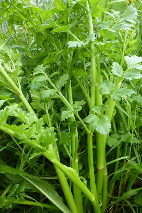 plantes sauvages 001pm.jpg