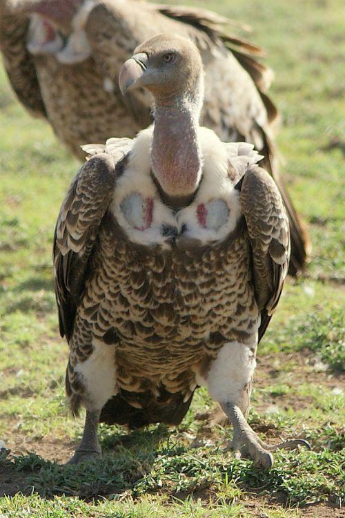 vautour de rüppel