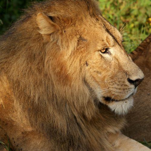 Lion de Tanzanie