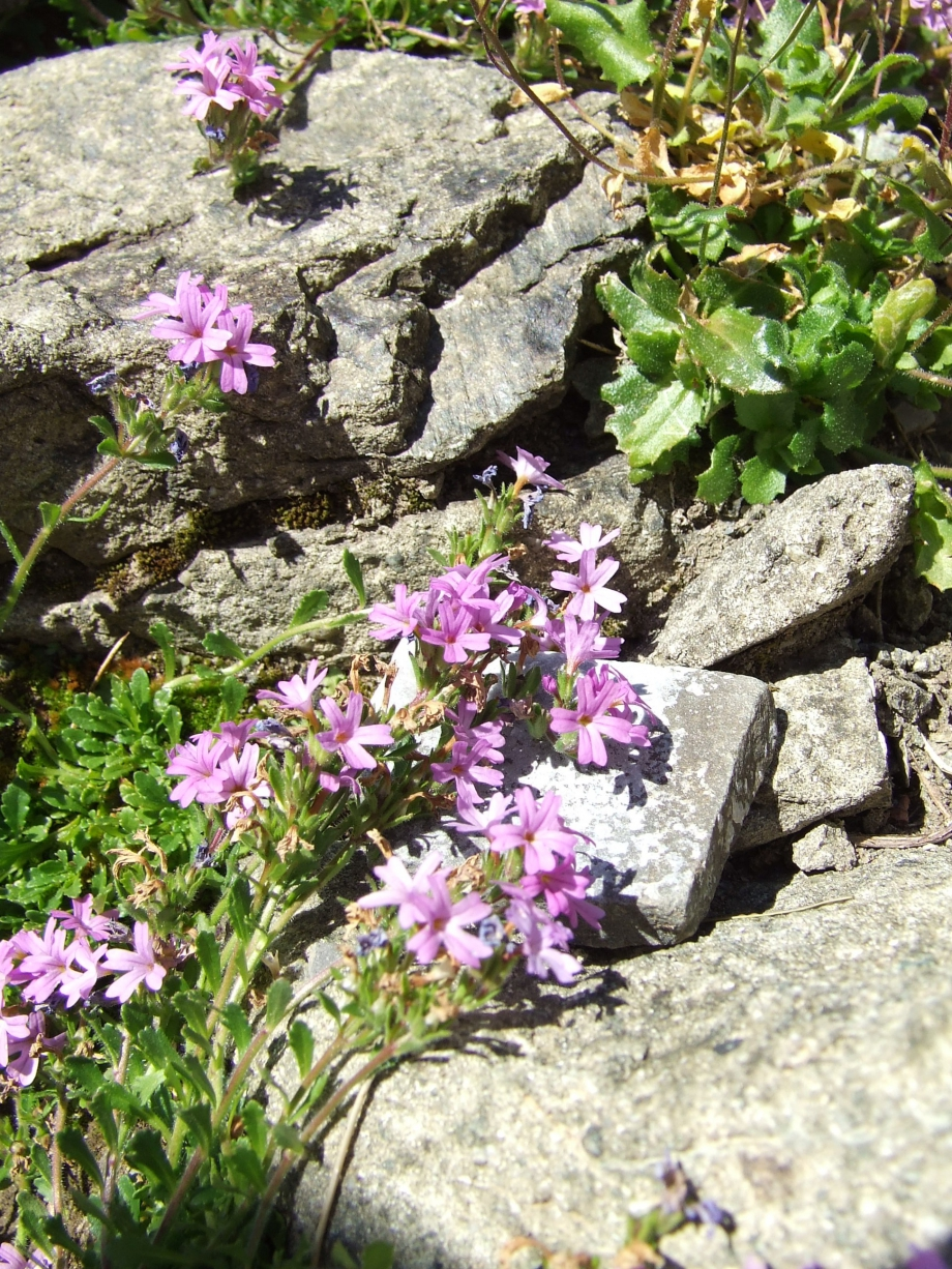 Erinus alpinus (Scrophulariacées) - Ravin de Côte Longue - Haute route du Vieux Chaillol - 27.07.07 - 1.JPG