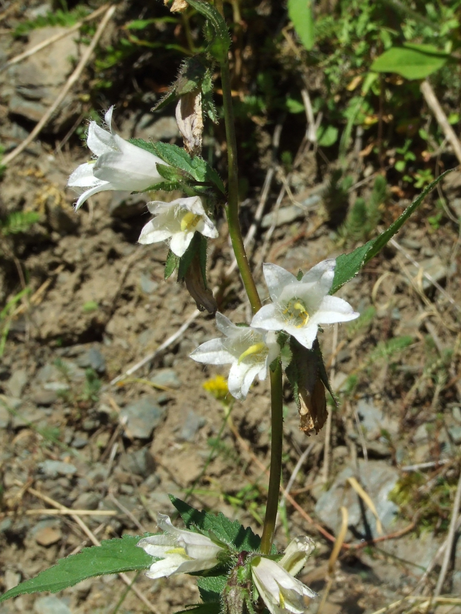 Campanula trachelium [forme blanche](Campanulacées) - Hameau du Roy - Haute route du Vieux Chaillol - 27.07.07 - 3.JPG
