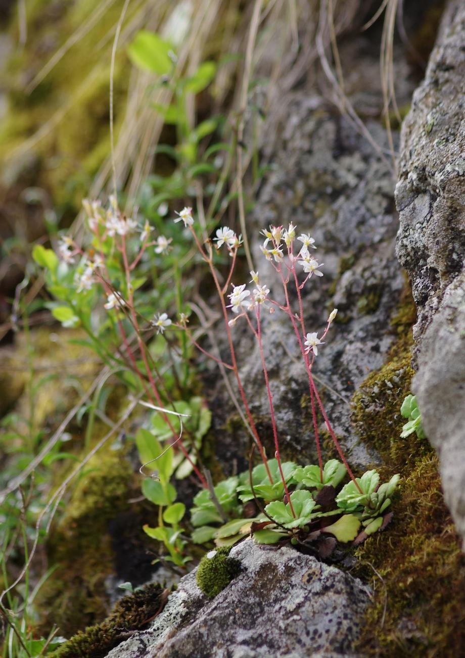 Saxifraga cuneifolia (Saxifrage à feuilles en coin) - Montée des Coins - Valgaudemar - 04.07.2013 - 1.JPG