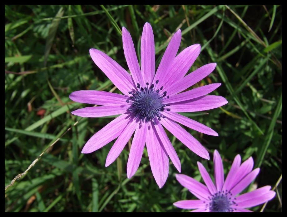 Anemone stellata (Renonculacées) - Forêt de Janas - 02.04.07 - 3.JPG