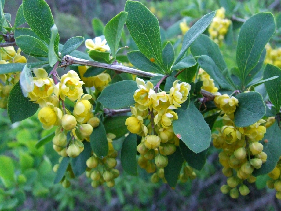Berberis spinosa [Epine-Vinette] - Devès de Rabou - 21.05.09.JPG