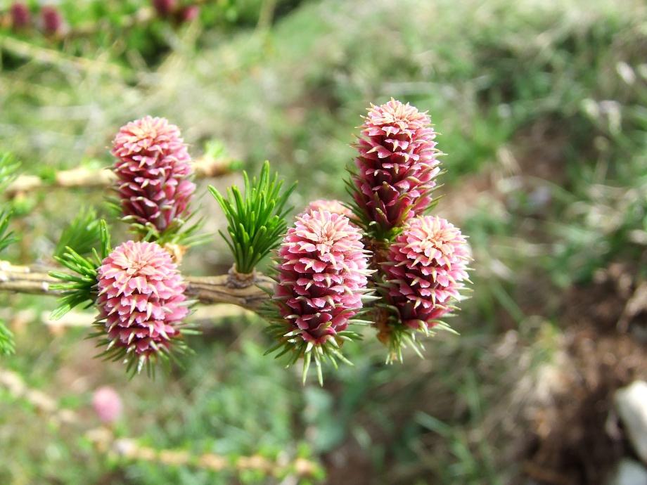 Fleurs de Larix decidua [Mélèze] - Devès de Rabou - 21.05.09.JPG