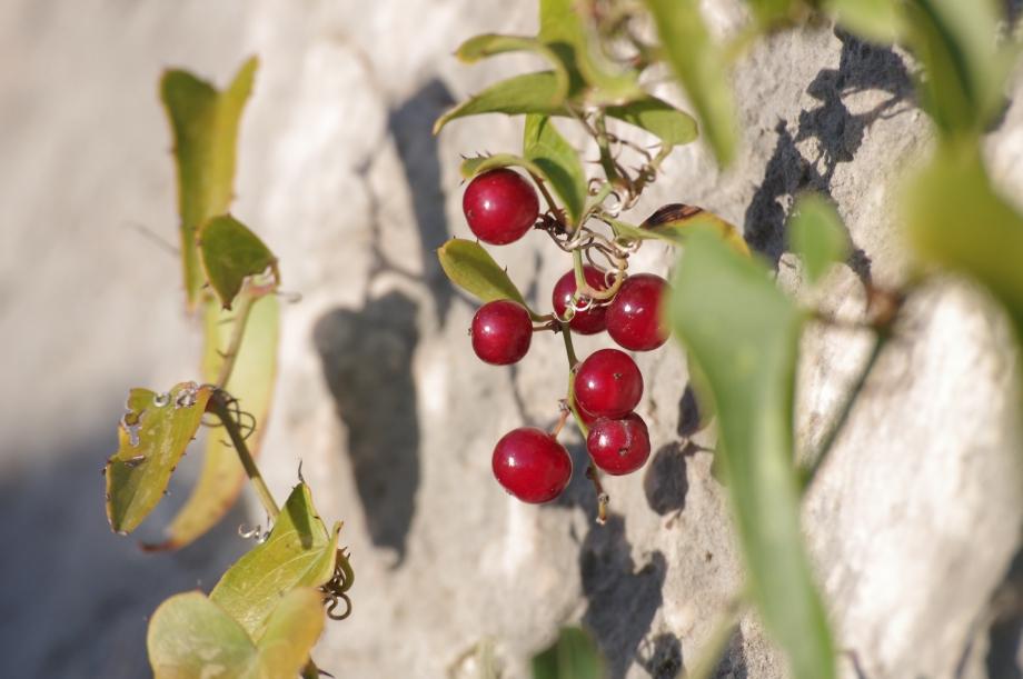 Fruits de la Salsepareille - Sous le Cengle - 26.11.2011 - 1.JPG