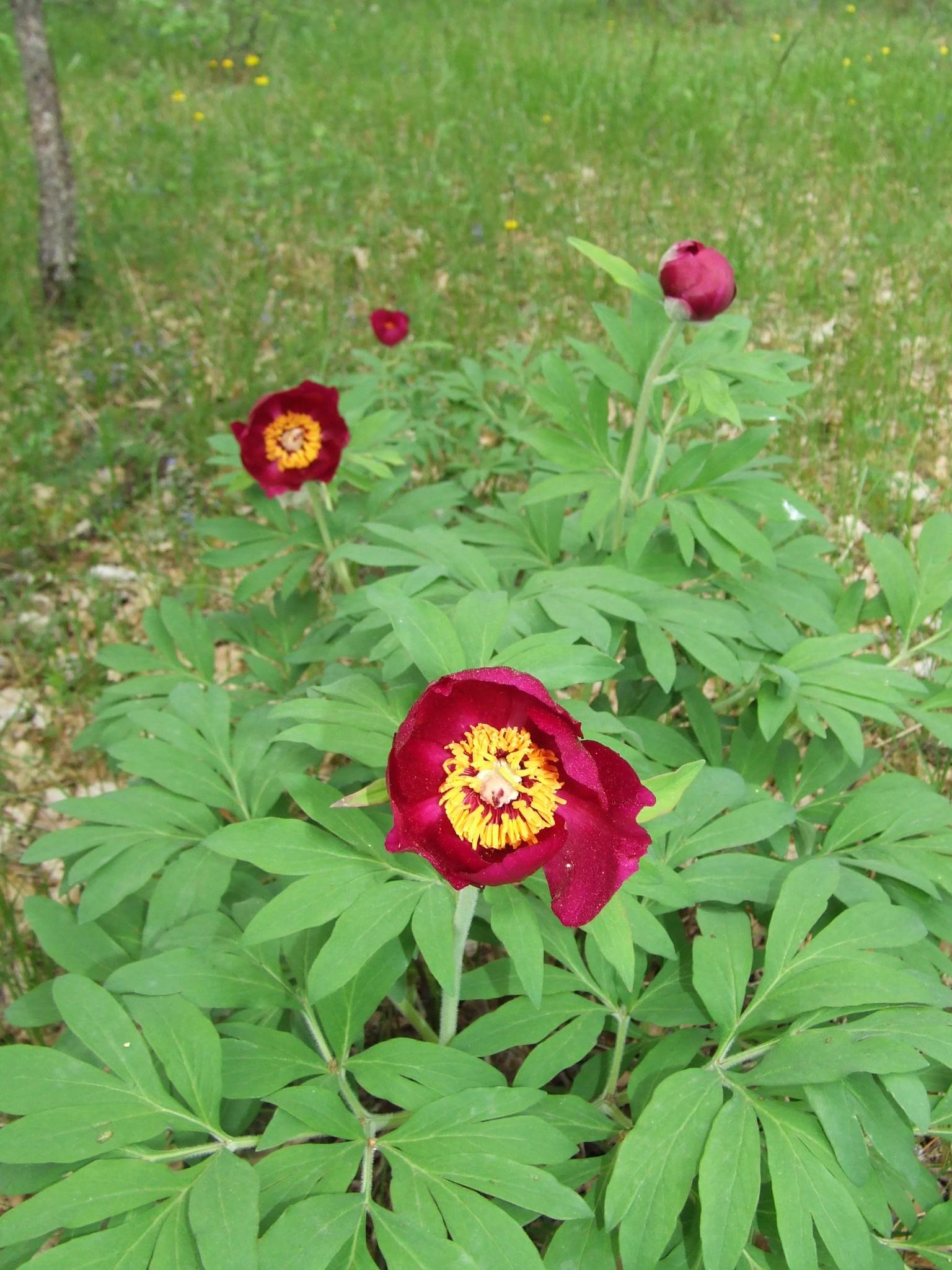 Paeonia officinalis (Paeoniacées) - Clamensane - 20.05.06 - 4.JPG