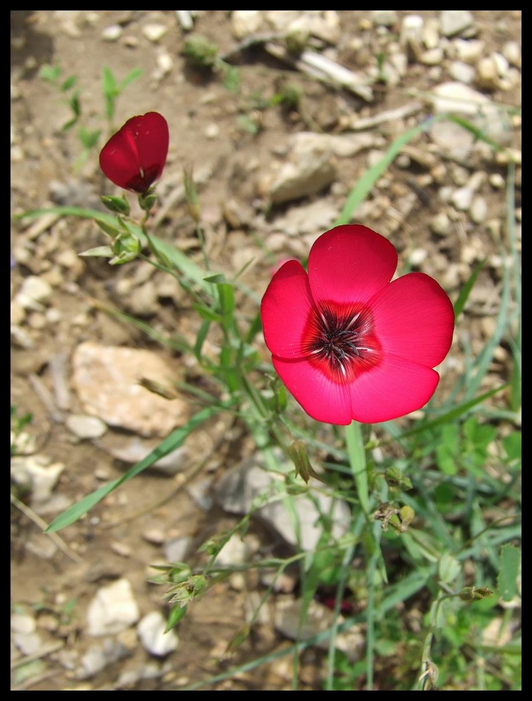 Plante à déterminer - Les Rouvières - Ubac Ste-Victoire - 01.06.08 - 6.JPG