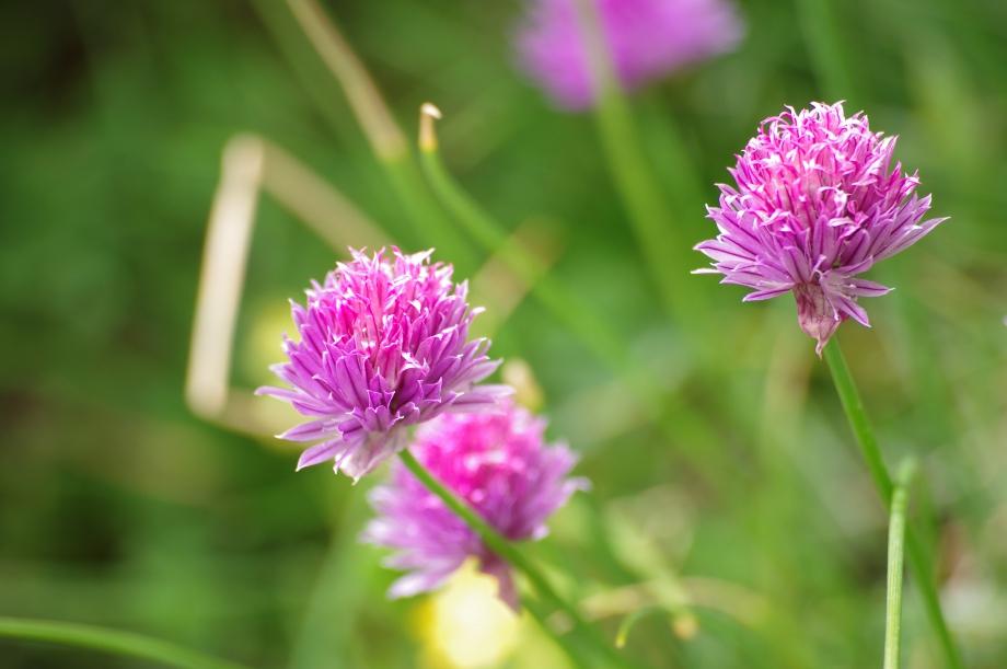 174 - Allium schaenoprasum (Ciboulette) sous le Lac de la Fous - Périple en Gordolasque et Merveilles - 06.08.2012.JPG
