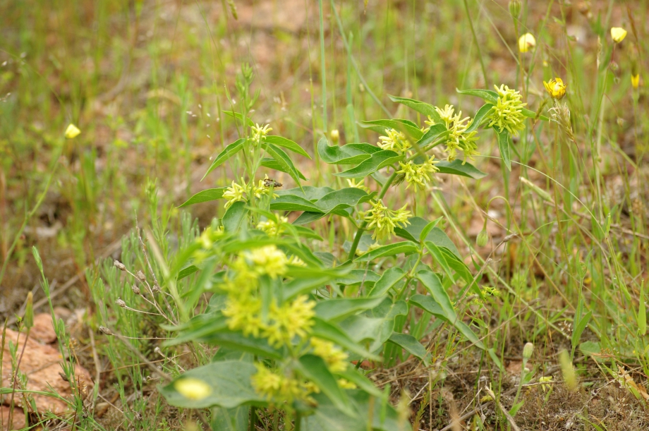 Vincetoxicum hirundinaria (Asclépiade blanche) - Les Maures - 05.05.2013 - 1.JPG